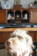 coco the dog with desk